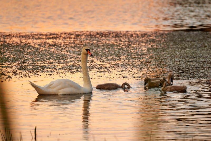 Zwaan en kuikens op het meer in de stralen van zonsondergang royalty-vrije stock foto's