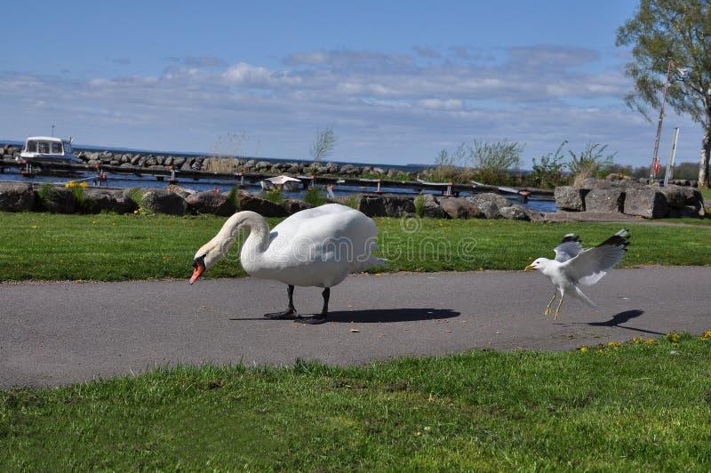 Download Zwaan en zeemeeuw stock foto. Afbeelding bestaande uit vogels - 54090528