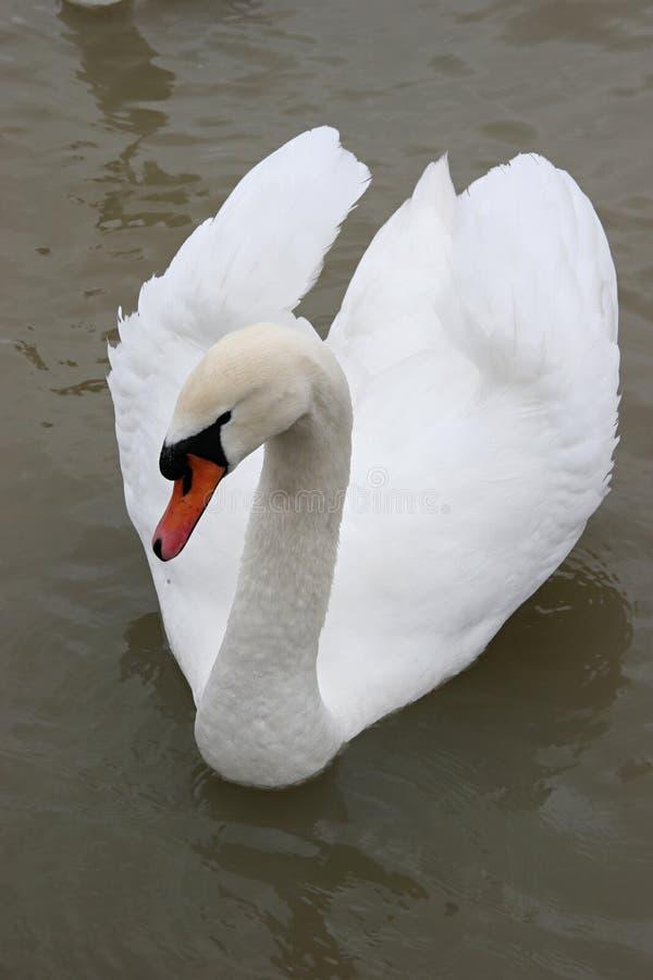 Zwaan in het meer royalty-vrije stock afbeelding