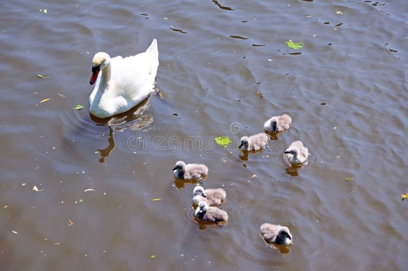 Zwaan met jonge zwanen op de Rivier Avon stock afbeelding
