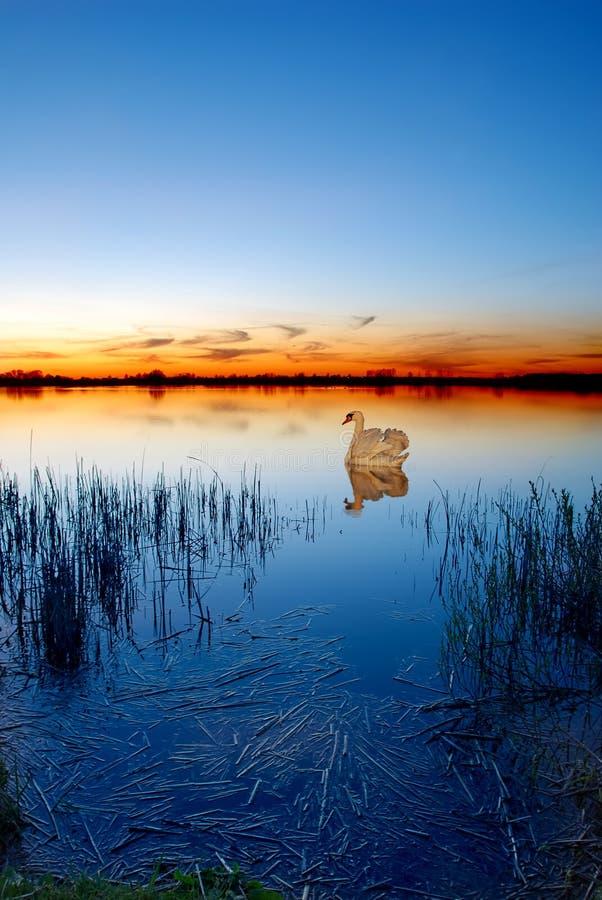 Zwaan op een meer bij zonsondergang royalty-vrije stock afbeeldingen