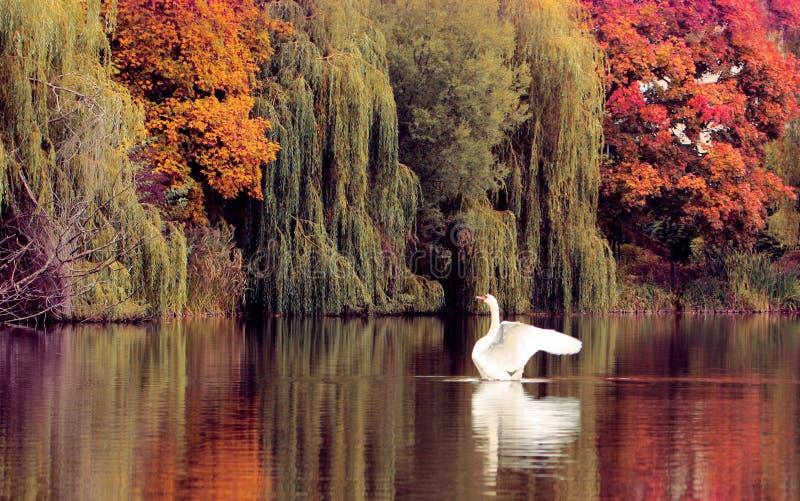 Zwaan op het de herfstmeer stock afbeeldingen