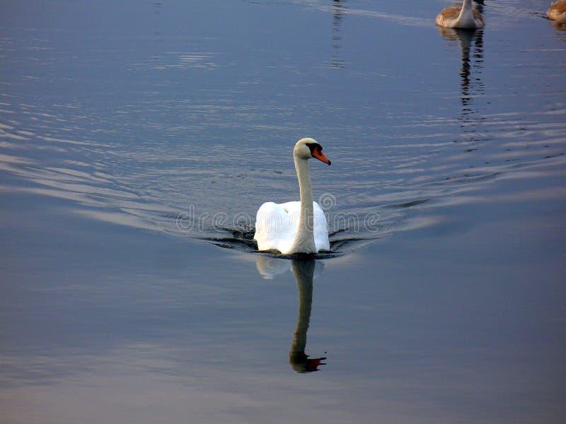 Zwaan op het meer in middag stock afbeelding