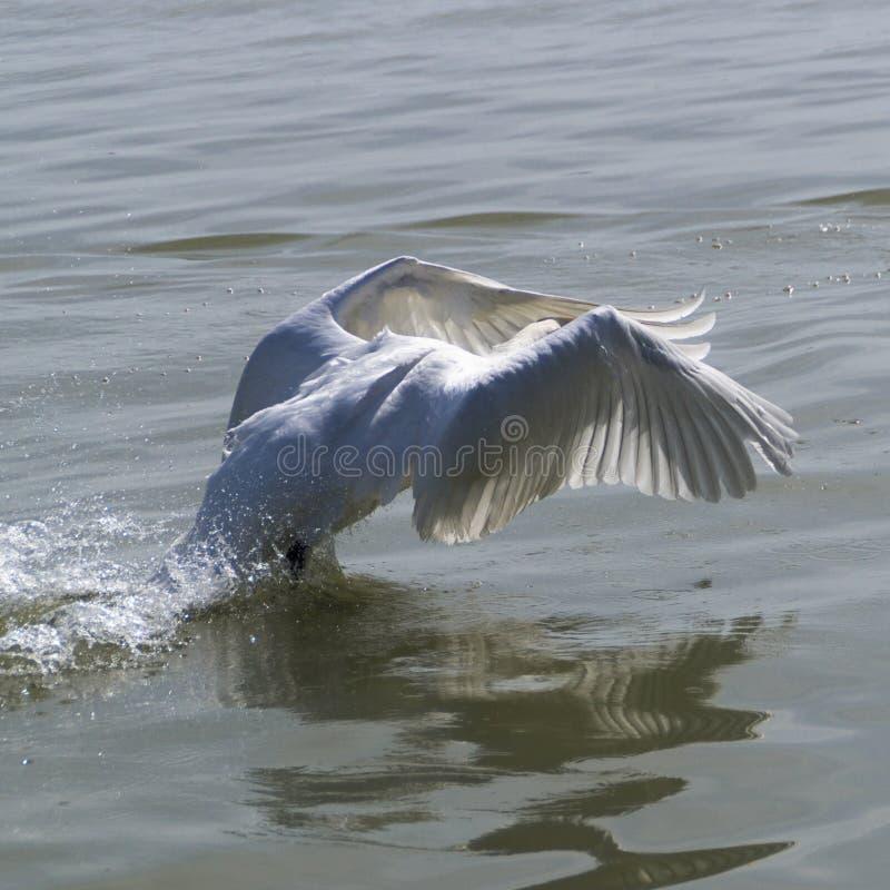 Zwaan op meer Balaton stock afbeelding
