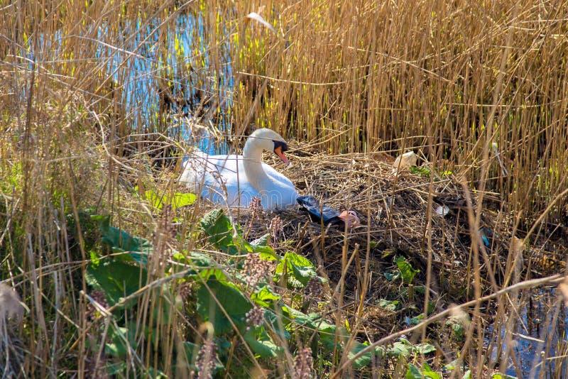 Zwaan` s nest en huisvuil ecologische crisisfoto stock foto