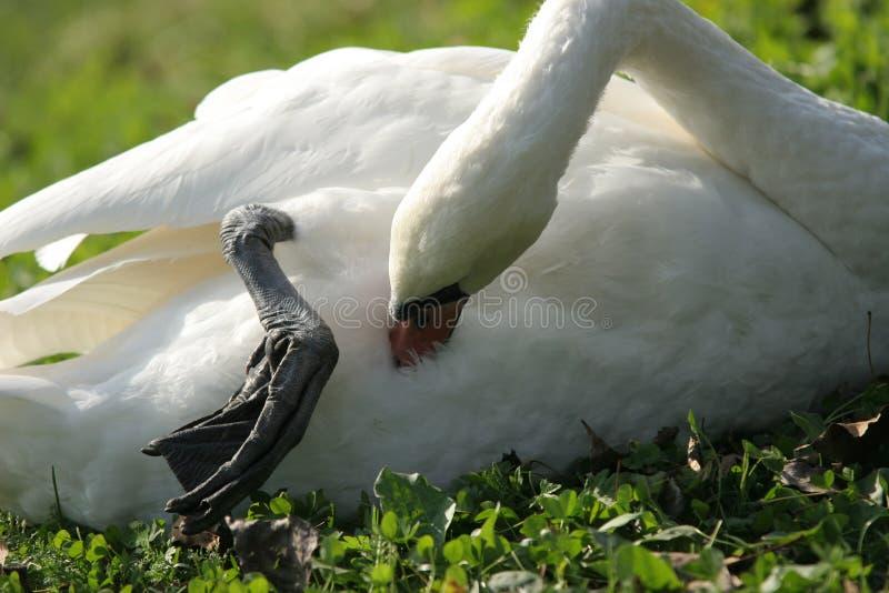 Zwaan - schoonmakende veren stock fotografie