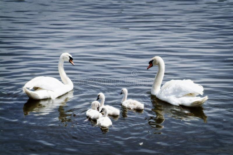 Zwaanfamilie stock afbeelding