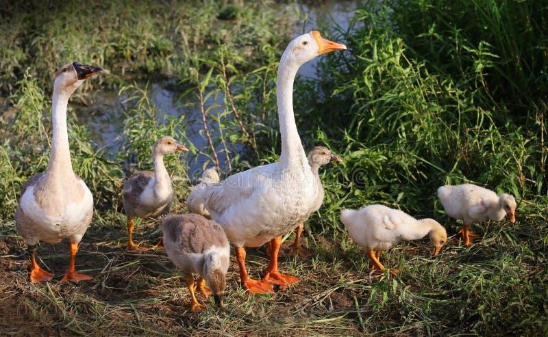 Zwaanfamilie royalty-vrije stock afbeelding