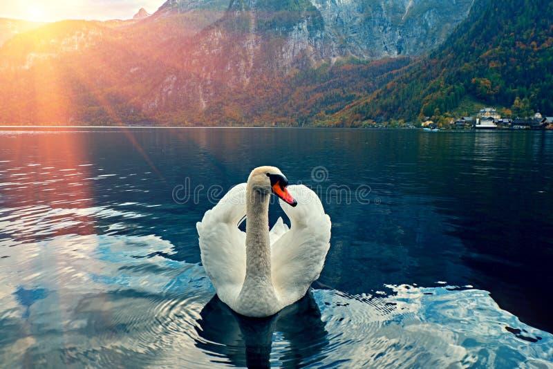 Zwaanportret Stodde olor die van zwaancygnus over Meer Hallstatt Oostenrijk in het licht van de zonsopgangochtend glijden Verbaze stock fotografie