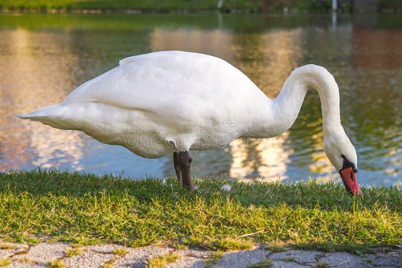 Zwaanvoer op de kust Expressief silhouet van een witte zwaan die zich door de rivier bevinden Zwaan in profiel royalty-vrije stock fotografie