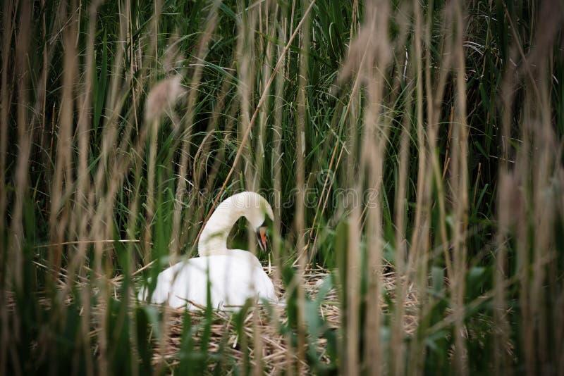 Zwaanzitting op nest royalty-vrije stock afbeelding