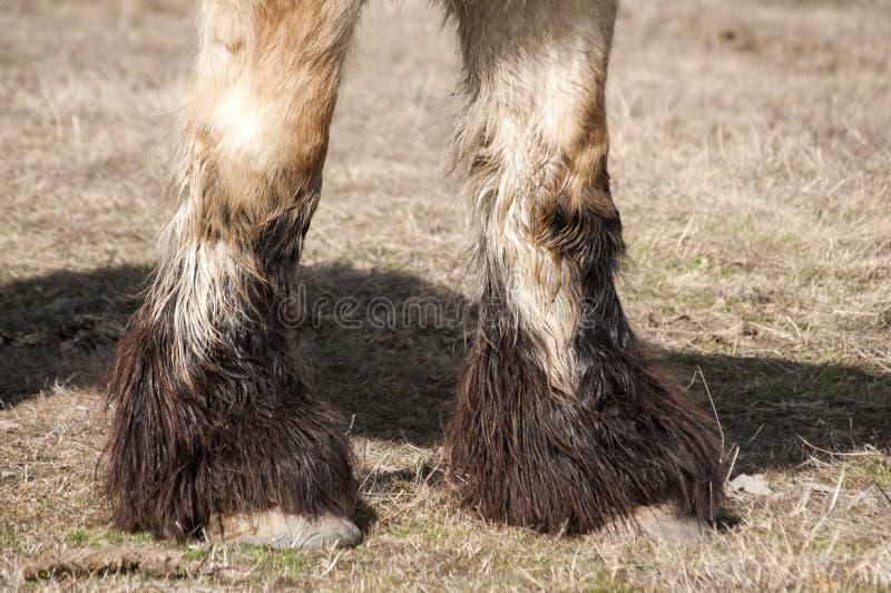 Zwaar paard hoofs stock afbeeldingen