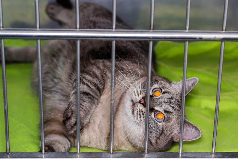 Zwaarlijvige kat bij de veterinaire kliniek in de metaalkooi royalty-vrije stock afbeeldingen