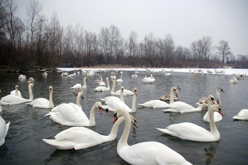 Zwanen in de Winter stock afbeeldingen