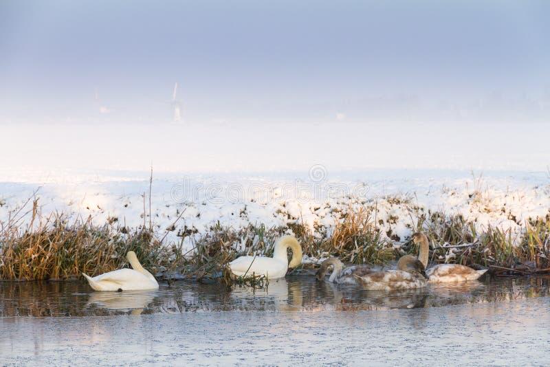De zwanen van de winter royalty-vrije stock afbeeldingen