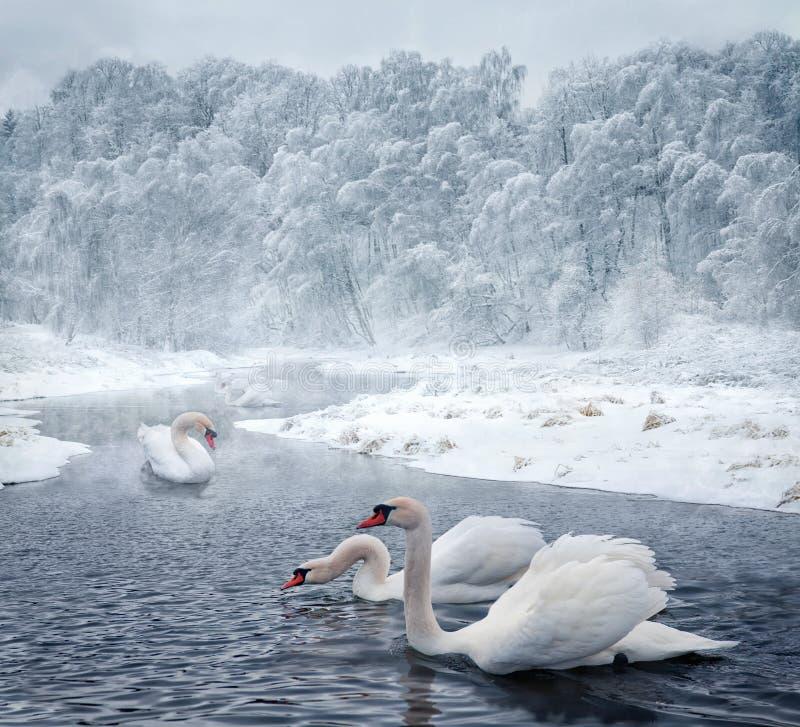 Zwanen in de wintermeer stock afbeeldingen