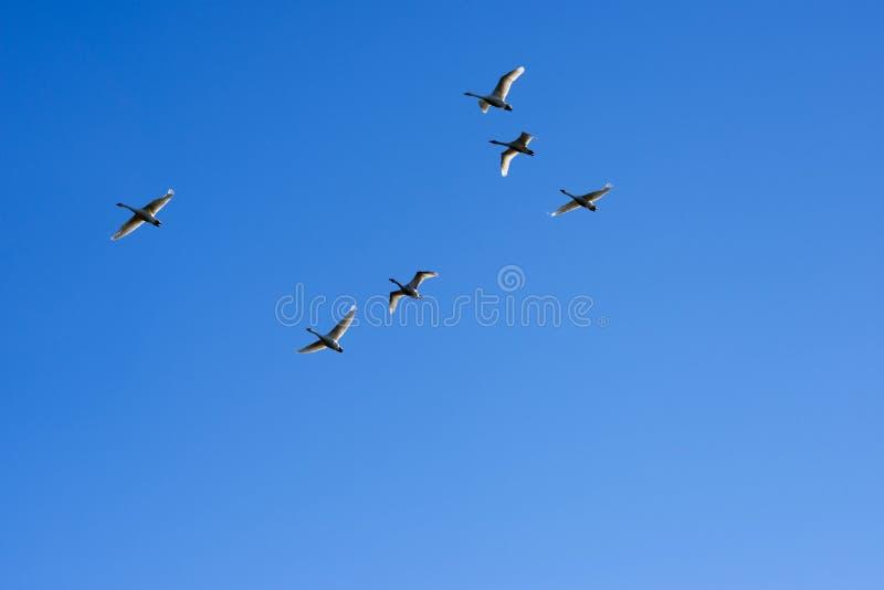 Zwanen die in een duidelijke blauwe hemel vliegen stock afbeeldingen