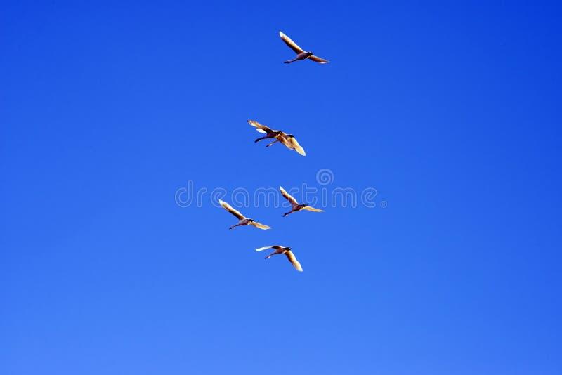 Zwanen die in een duidelijke blauwe hemel vliegen stock fotografie