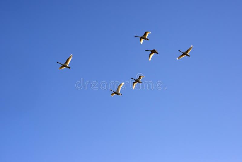 Zwanen die in een duidelijke blauwe hemel vliegen stock afbeelding