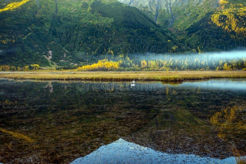Zwanen die in een overweldigend meer nadenken Van Alaska royalty-vrije stock afbeeldingen