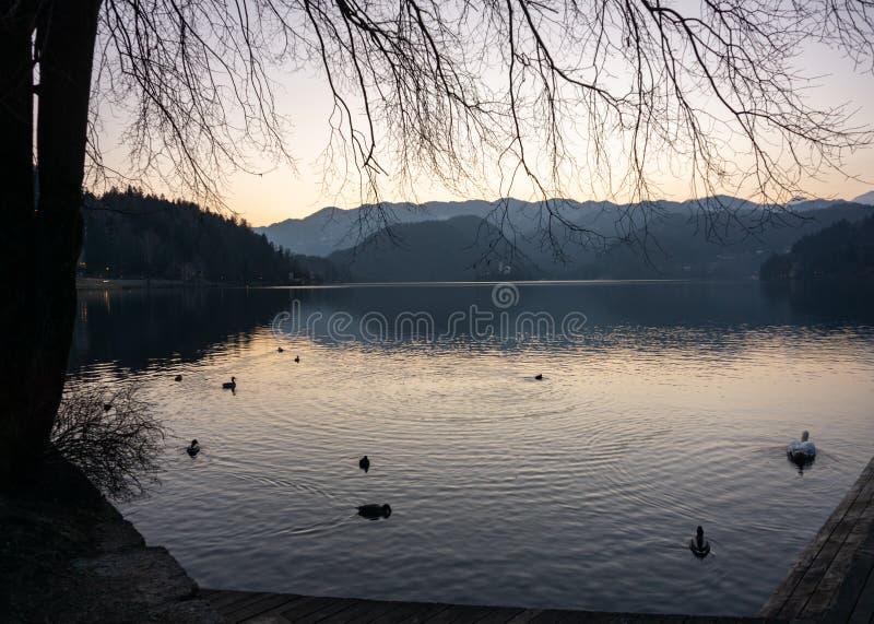 Zwanen die op het meer in de zonsondergang zwemmen royalty-vrije stock foto's