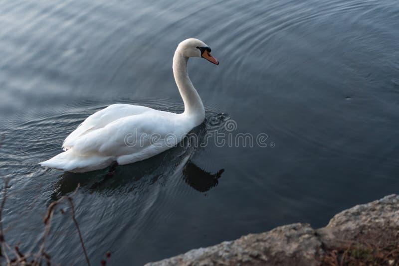 Zwanen die op het meer in de zonsondergang zwemmen royalty-vrije stock afbeeldingen