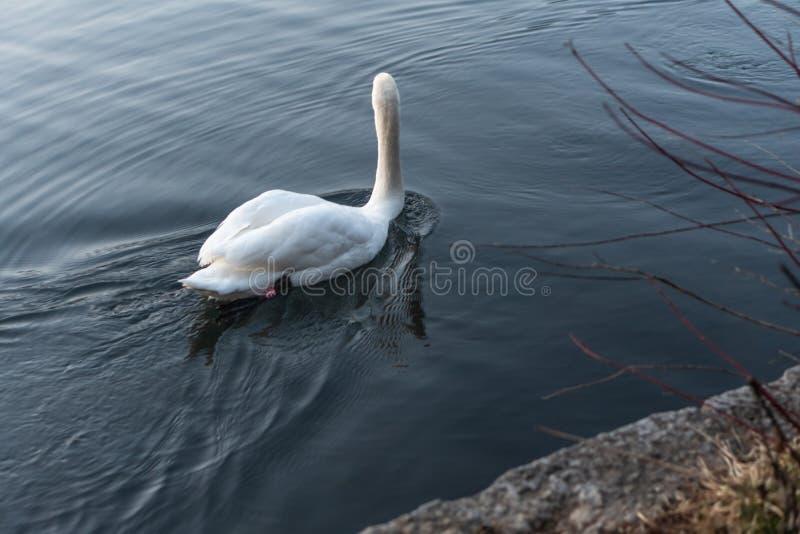 Zwanen die op het meer in de zonsondergang zwemmen royalty-vrije stock afbeelding