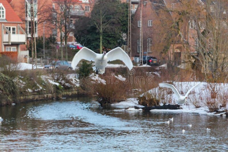 Zwanen die van het water van een rivier in Odense, Denemarken stijgen stock foto