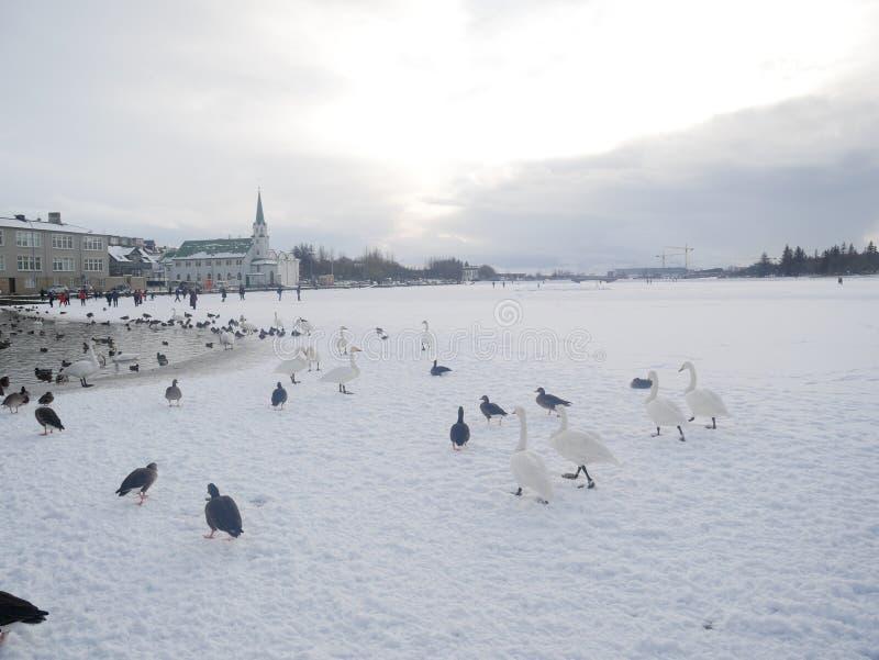 Zwanen in een bevroren meer tjornin reykjavik royalty-vrije stock fotografie