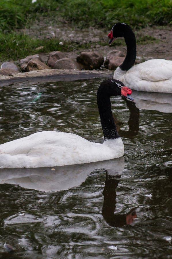 Zwanen in een Russische dierentuin royalty-vrije stock afbeeldingen