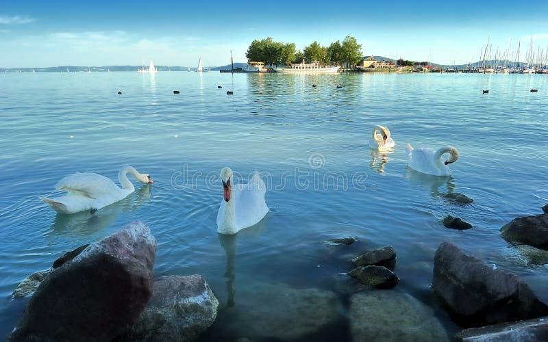 Zwanen in het balatonmeer stock afbeeldingen