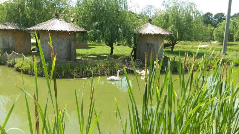 Zwanen in het meer in de kant van het land stock foto