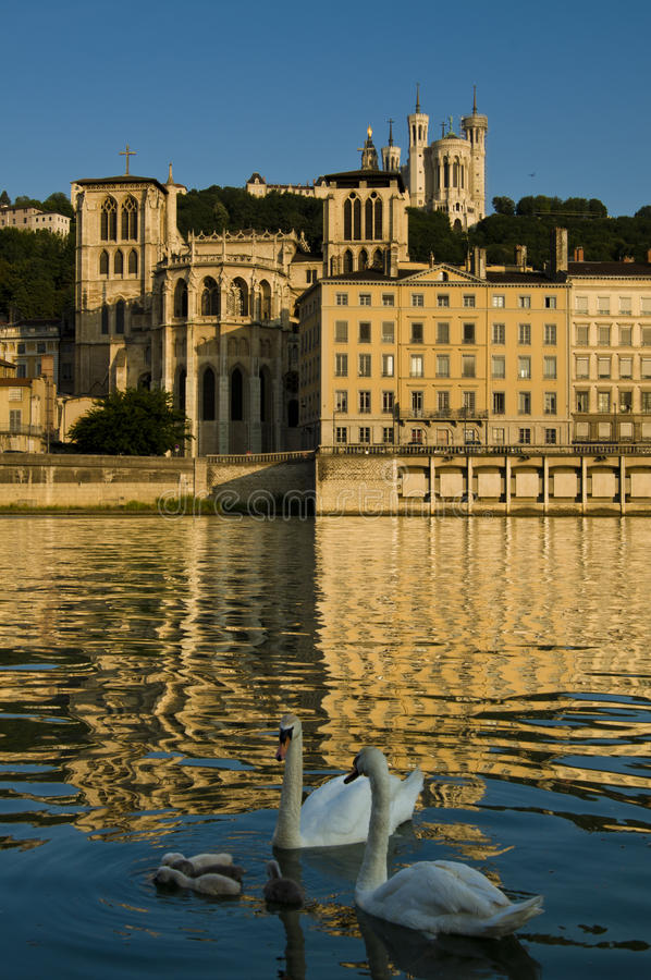 Zwanen in Lyon royalty-vrije stock foto