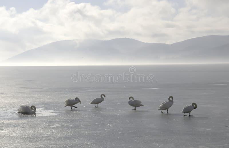 Zwanen op Bevroren Meer stock afbeeldingen