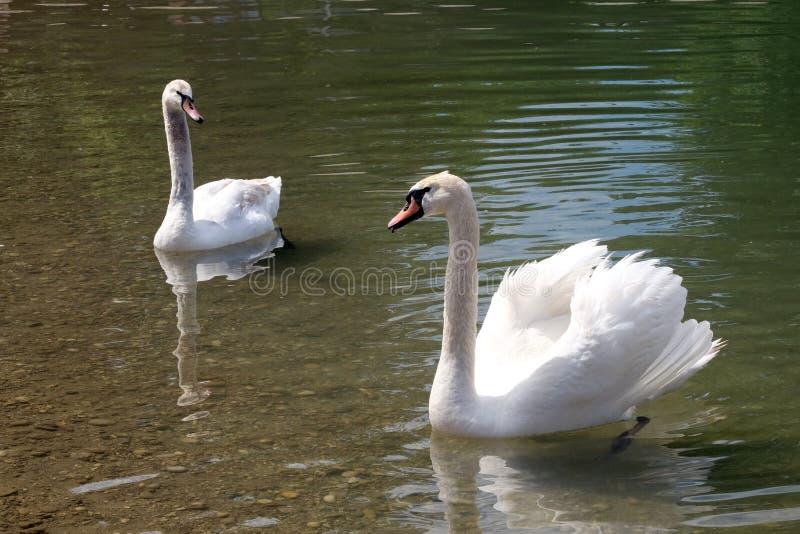 Zwanen op een Bundek-meer in Zagreb stock afbeelding