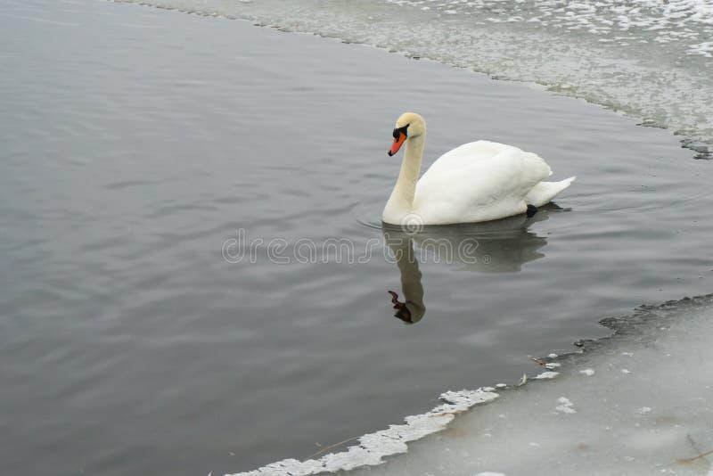 Zwanen op het bevroren meer in de winter De vogels vangen vissen in de winter royalty-vrije stock fotografie