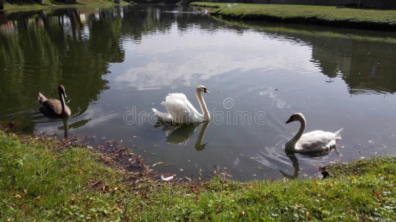 Zwanen op het meer royalty-vrije stock fotografie