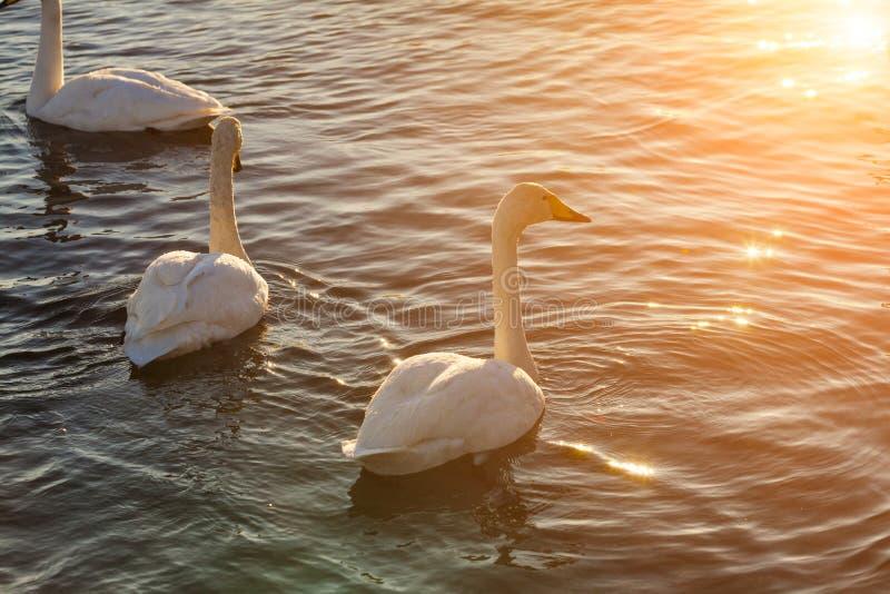 Zwanen op het meer bij dageraad in de winter royalty-vrije stock foto's
