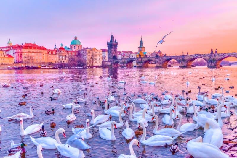Zwanen op Vltava-rivier, torens en Charles Bridge bij zonsondergang, Praag, Tsjechische Republiek stock afbeeldingen