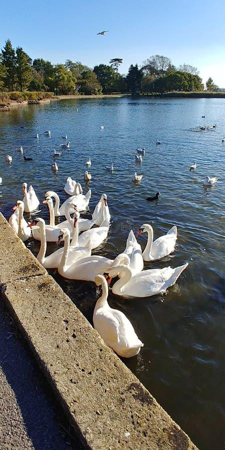 Zwanen in Poole-Park op een zonnige dag royalty-vrije stock afbeelding