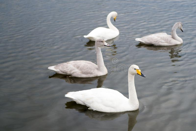Zwanen schitterend op grijze waterspiegel Dieren natuurlijk milieu Watervogels met nakomelingen die op vijver drijven swans stock afbeeldingen