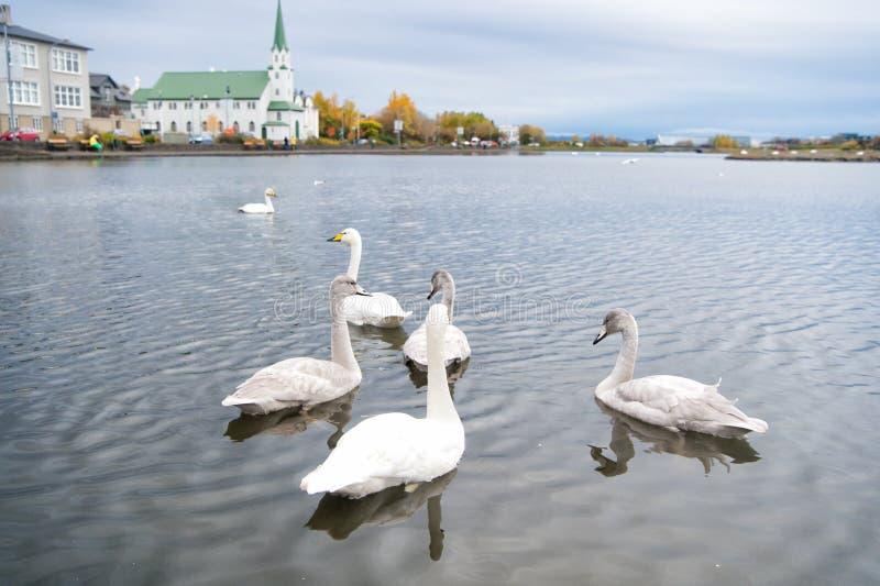 Zwanen in vijver in reykjavik IJsland Zwanen schitterend op grijze waterspiegel Dieren natuurlijk milieu Watervogels met royalty-vrije stock foto