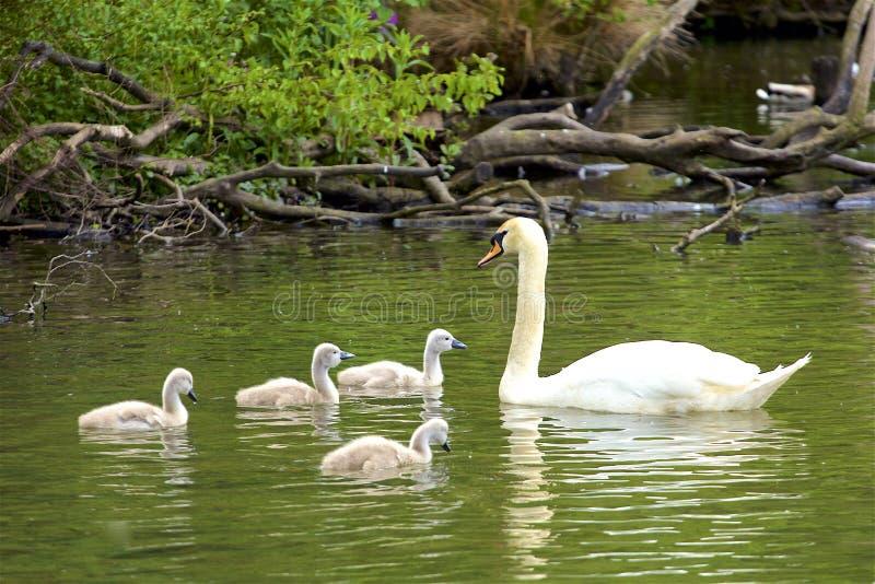 Zwanenfamilie in Tilgate-park, Engeland stock foto