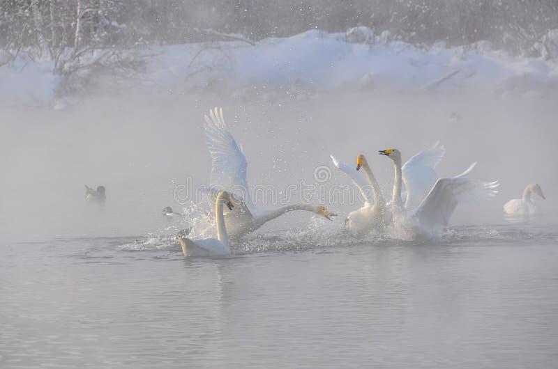 Zwanenstrijd op het meer een koude nevelige de winterochtend (Cygnus Cygn royalty-vrije stock foto