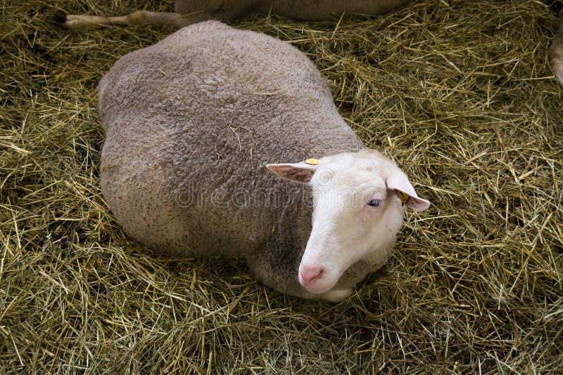 Zwanger wijfje sheeps in sheepfold stock foto's