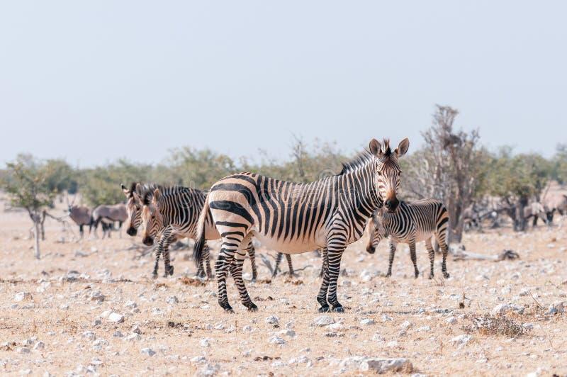 Zwangere Hartmann Mountain Zebra-merrie stock foto