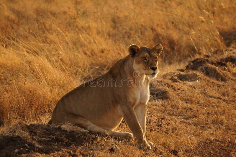 Zwangere vrouwelijke leeuw royalty-vrije stock fotografie