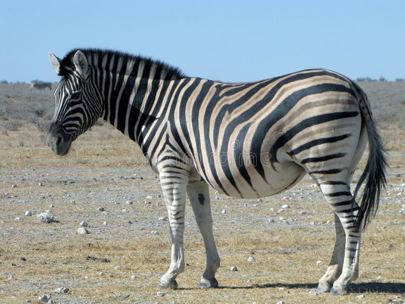 Zwangere Zebra stock fotografie