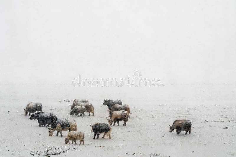 Zware sneeuwval yaks in Tibet stock foto's