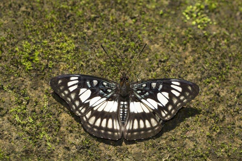Zwart-adersergeant, Athyma-ranga, Namdapha Tiger Reserve, Arunachal Pradesh, India royalty-vrije stock foto